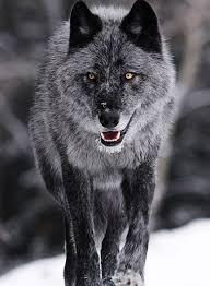 smoke grey wolf the of wildlife wolf gray