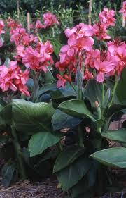 canna lilies canna tropical 7 pot hello hello plants