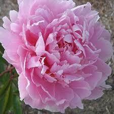 Wholesale Peonies Peony Flower Buy Peonies In Bulk At Wholesale Price For Weddings