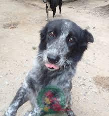 belgian shepherd vancouver female born jan 2017 size rescue paws canada facebook