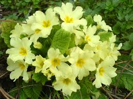 Names And Images Of Flowers - primula vulgaris wikipedia