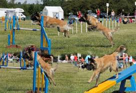 belgian sheepdog agility belgian shepherd dog association of great britain agility