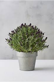 best 20 spanish lavender ideas on pinterest french lavender