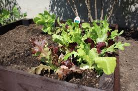 Urban Vegetable Garden by My Urban Vegetable Garden Daisy U0027s World