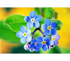 forget me not seed packets forget me not seeds packet 0 3 gram