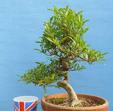 gardenia evergreen flowering bonsai tree