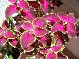 How To Grow Coleus Plants by Garden Plants Coleus Www Coolgarden Me