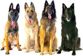 belgian sheepdog groenendael belgian shepherd dog groenendael tervuren malinois laekenois
