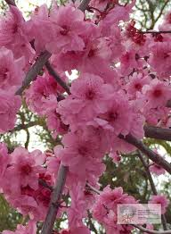 cherry blossom tree facts prunus blireana cherry blossom plum ellenby tree farm