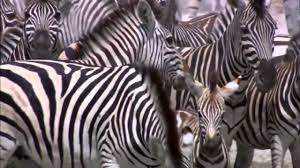 the great zebra migration full documentary hd youtube