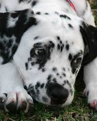 phoebe dalmatian puppies daily puppy