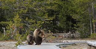 Bears Montana Hunting And Fishing - montana fish and wildlife commission to vote on yellowstone grizzly