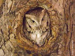 owls 2008 side eastern screech owls