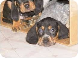 bluetick coonhound puppies for sale 9 hound pups adopted puppy 81508pups toledo oh black and