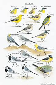 plate 40 wagtails a field guide to birds of armenia acopian
