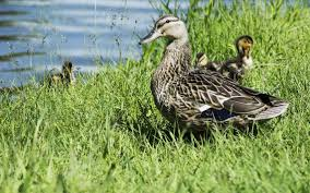 Barnes Realty Duck And Goose Hunting Leases A Boon To Landowners The Kansas