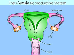 Private Parts Female Anatomy Female Reproductive System
