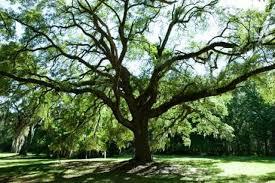 maple tree vs oak tree hunker