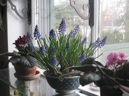 photo gallery dutch bulbs for winter windows
