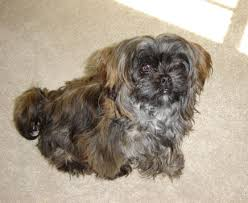pictures of shorkie dogs with long hair shorkie information shorkie pictures adult shorkies