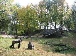rainforest gorilla facts best chimpanzee and gorilla image and