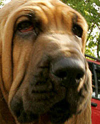 How To Get A Comfort Dog Dogs That Changed The World Selective Breeding Problems Nature