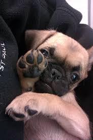 pug x boxer dog 14 best chug images on pinterest chugs chug dog and pug puppies