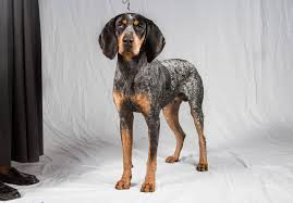 bluetick coonhound in florida bluetick coonhound puppies for sale akc puppyfinder