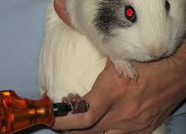 guinea lynx nail clipping