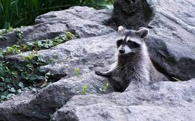 tourists are posing for selfies with raccoons in central park