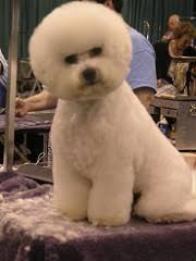 poodle vs bichon frise bichon head do u0027s u0026 don u0027ts bbird u0027s groomblog
