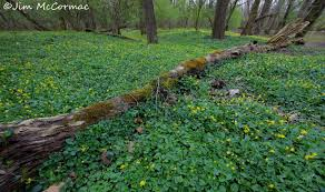 native plants of ohio lesser celandine a botanical disaster ohio birds and biodiversity