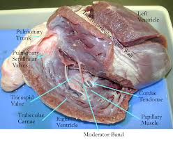 right ventricle anatomy gallery learn human anatomy image