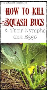 how to kill squash bugs squash bug eggs and nymphs reformation