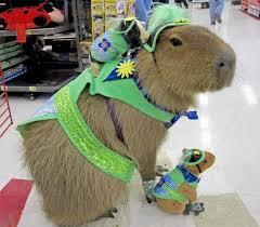 Guinea Pig Meme - guinea pig riding a capybara know your meme