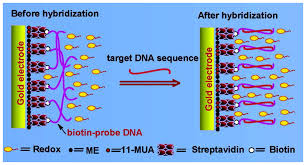 sensors free full text electrochemical dna hybridization