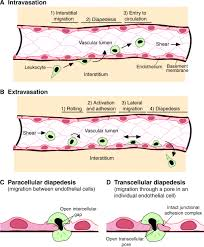 mechanisms for transcellular diapedesis probing and pathfinding