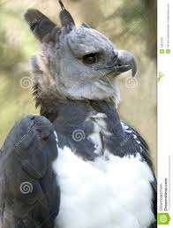harpy eagle costa rica grey bird hawk falcon stock image