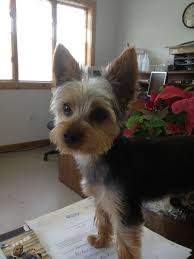 male yorkie haircuts image result for short haircuts for yorkie dogs little dogs
