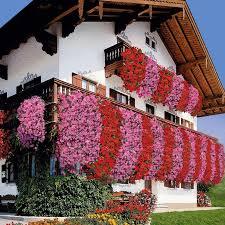 geranien balkon die besten 25 geranien ideen auf geranien pflanzen