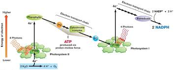 What Happens During The Light Dependent Reactions Of Photosynthesis Photosynthesis In Higher Plants Study Material For Neet Aipmt