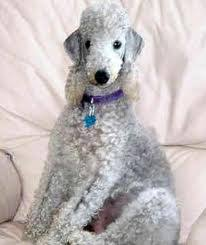 bedlington terrier genetic disease bedlington terrier for sale local puppy breeders with bedlington