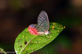 butterfly with transparent wings photo