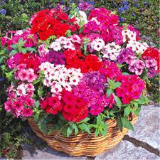 Phlox Flower 100pcs Bag Phlox Plants Phlox Seeds Phlox Flowers Bonsai Flower