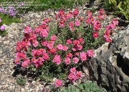 Rock Garden Cground Rock Sun Raspberry Ripple Helianthemum Nummularium