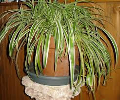 easy plants how to multiply your spider plants 4 steps with pictures