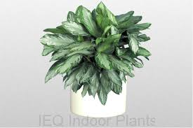 best indoor plants for low light best indoor plants brisbane zanzibar gem low light plants