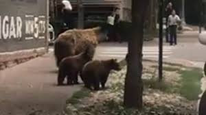 bear cub squeezes into california family u0027s home eats cats u0027 food