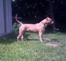 american pitbull terrier gotti razors edge razors edge pitbull breeds razors edge pitbull pictures bully