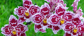buy an orchid mt beenak orchids buy orchid flowers online